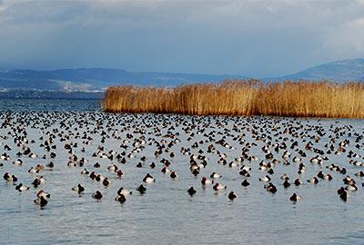 Rassemblement de canards ©Verena Keller